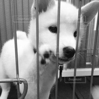 檻の外を見つめる白柴犬の写真・画像素材[3730028]