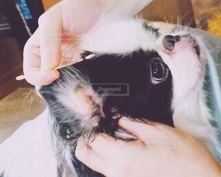 おとなしく耳掃除をされる白黒の犬(狆)の写真・画像素材[3745739]