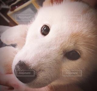 抱っこされてカメラ目線の白柴犬の写真・画像素材[3750114]