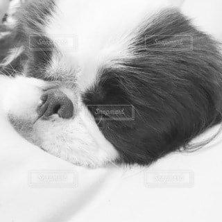 熟睡する白黒の犬(狆)の写真・画像素材[3837727]