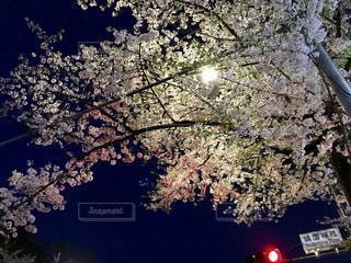 夜桜の写真・画像素材[814075]