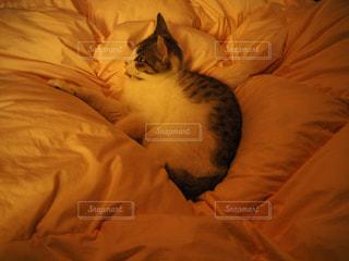ベッドの上で横になっている猫の写真・画像素材[817005]