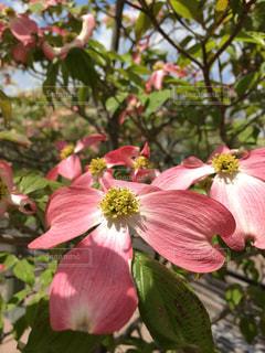 中庭に咲いたハナミズキの写真・画像素材[816432]