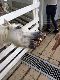 エサを欲しがる馬の写真・画像素材[816457]