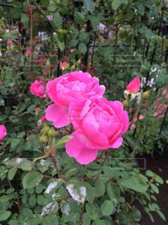 鮮やかなピンクの薔薇の写真・画像素材[816459]