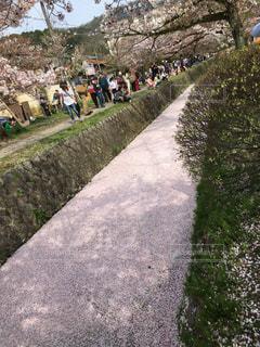 """哲学の道 """"桜の川""""の写真・画像素材[816464]"""