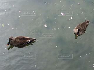 花びらの浮く池を泳ぐ鴨の写真・画像素材[816465]
