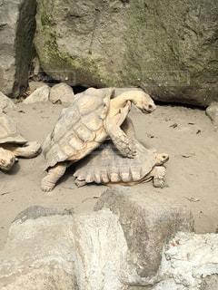 亀の交尾の写真・画像素材[816863]