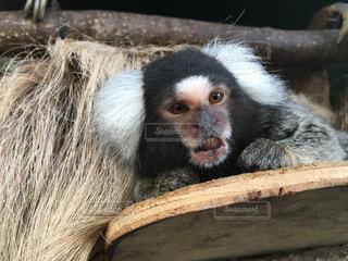 何かを見つめる猿の写真・画像素材[816864]