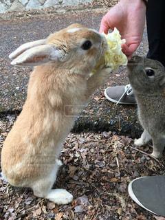 キャベツを食べるウサギの写真・画像素材[816870]