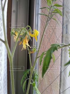 屋内で咲くトマトの花の写真・画像素材[818563]