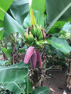 木になっている緑のバナナの写真・画像素材[818569]