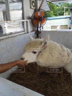 手からエサを食べるアルパカの写真・画像素材[818571]
