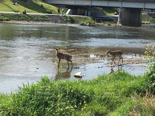川辺に現れた鹿の写真・画像素材[818577]