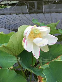 蓮の花の写真・画像素材[818580]