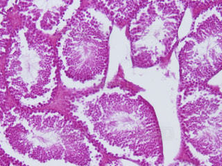 精巣の組織切片の写真・画像素材[818582]