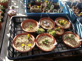 多肉植物の花畑の写真・画像素材[822413]