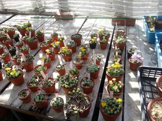 多肉植物の花畑の写真・画像素材[822414]