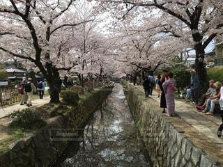 哲学の道 桜の写真・画像素材[822415]
