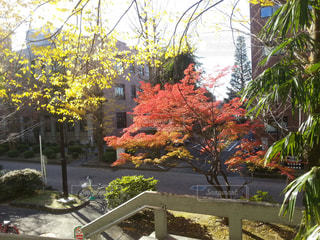 徐々に色づく紅葉の写真・画像素材[822503]