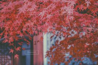 紅葉。の写真・画像素材[930380]