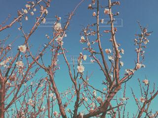梅の花。の写真・画像素材[1008471]