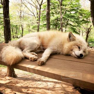 木材表面の上に横たわるキツネの写真・画像素材[815598]