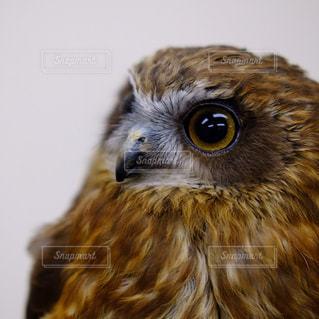 黄色の目で茶色と白フクロウの写真・画像素材[815599]