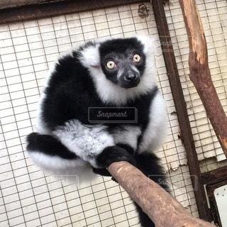 白と黒の動物の写真・画像素材[816220]