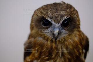 黄色の目で茶色と白フクロウの写真・画像素材[816222]