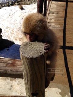 木製の表面の上に座って猿の写真・画像素材[816228]