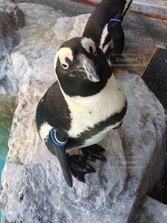 岩に立っているペンギンの写真・画像素材[816230]