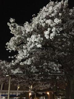 夜桜の写真・画像素材[828339]