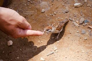 スズメに手で餌をあげる人の写真・画像素材[821532]