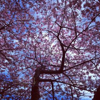 満開の桜の写真・画像素材[817603]