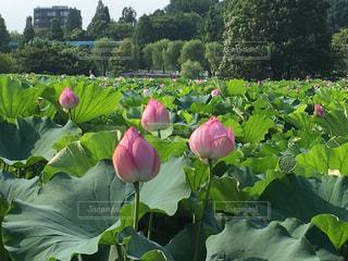 ハスの花のつぼみの写真・画像素材[822892]