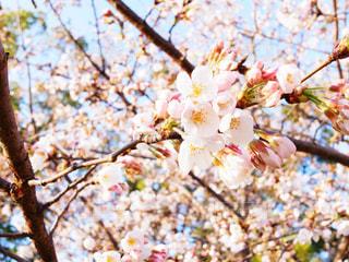 桜 - No.828898