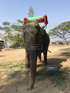未舗装の道路を歩いて大きな象の写真・画像素材[819570]