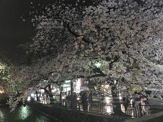 京都夜桜の写真・画像素材[819605]