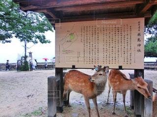 厳島神社の鹿の写真・画像素材[875201]