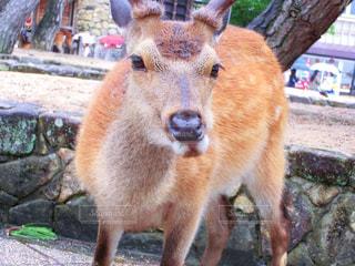 厳島神社の鹿の写真・画像素材[875202]