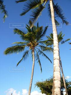 ハワイのヤシの木の写真・画像素材[876198]