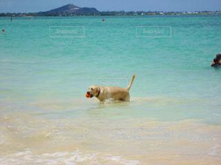 ビーチで遊ぶ犬の写真・画像素材[876362]