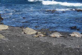ハワイ島のウミガメの写真・画像素材[876882]