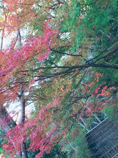 森の大きな木の写真・画像素材[876400]