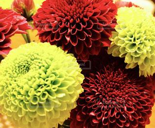 ポンポン菊の写真・画像素材[820012]