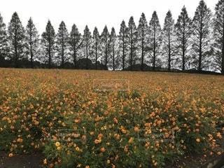 生駒高原のキバナコスモスの写真・画像素材[821044]