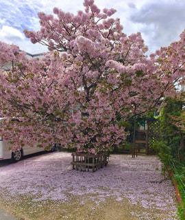 ピンクの花の木の写真・画像素材[820879]