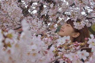 桜まみれの写真・画像素材[821005]