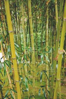 竹の写真・画像素材[875199]